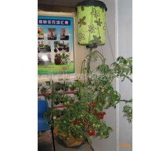 供应空中番茄 快乐家庭农场 观赏蔬菜 阳台小菜园
