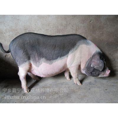 湖南优良仔猪肉做法大全欢迎选购