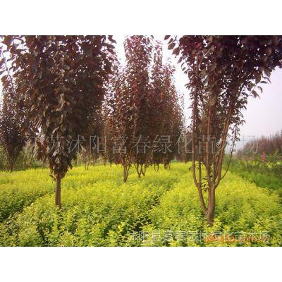 供应园林绿化苗木-红叶李,苏北红叶李,又名紫叶李