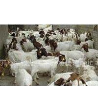 供应湖北波尔山羊养殖波尔山羊价格波尔山羊