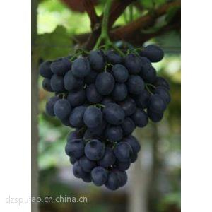 供应供应早熟葡萄苗 早熟葡萄苗基地 早熟葡萄 葡萄苗价格 优质早熟葡萄苗