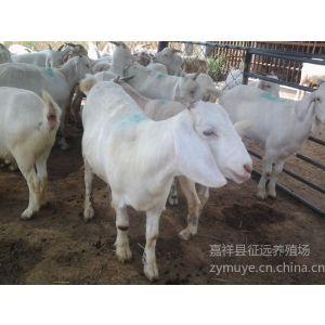 哪里有出售肉山羊的养羊场-屠宰肉羊