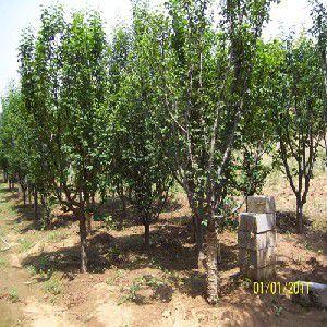 花卉苗木价格 想买特价绿化苗木—木瓜,就到潍坊润丰园林