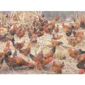 供应鸡饲料厂家批发13347180372