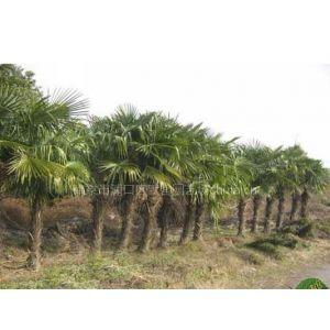 棕榈,棕榈价格,棕榈树苗