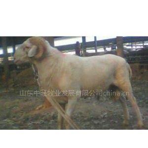 小尾寒羊价格 山东鲁西小尾寒羊养殖场中旺牧业