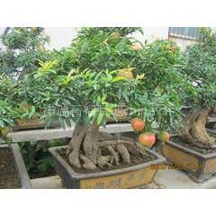 石榴盆景批发 盆栽石榴树供应 规格齐全 量大从优
