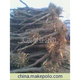 供应出售枣树苗,占地枣树,老枣树