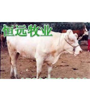 供应养殖场贵州养牛场诚信养肉牛湖南肉牛养殖场