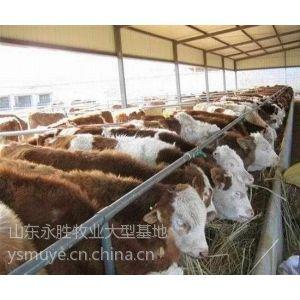供应江西九江肉牛养殖[15563133555]九江肉牛养殖场