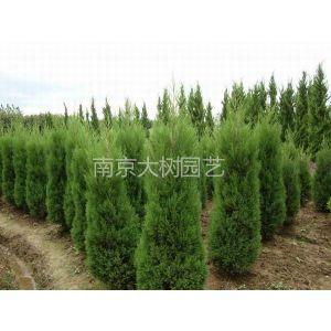 供应塔柏树价格 南京汤泉塔柏生产培育中心提供