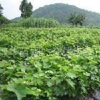 供应大量供应银杏苗(白果)