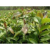 供应广西钦州市供应大果红花油茶苗