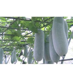 供应迷你小冬瓜种子