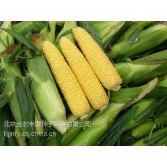 18801247085金农丰源玉米种子公司水果玉米种子供应