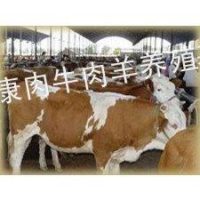 供应西门塔尔牛多长时间可以出栏波尔山羊多久可以出栏