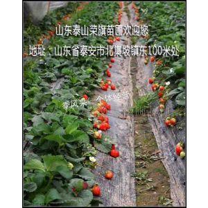 供应草莓苗直销 草莓苗哪里 山东草莓苗 草莓苗价格