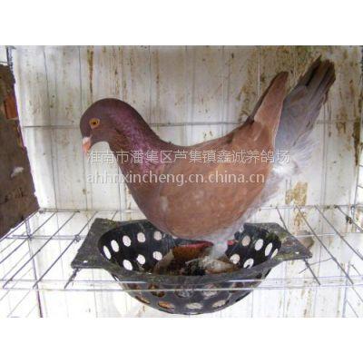 供应淮南鑫诚养殖场 常年出售大量肉鸽:种鸽,乳鸽,青年鸽,鸽蛋
