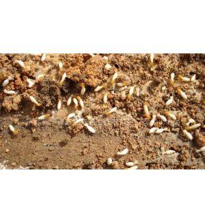 供应东莞杀虫公司专业四害白蚁等虫害 发现虫害请选澳华专业除四害公司