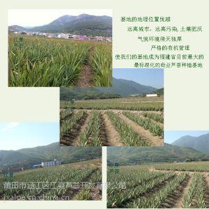供应药用翠叶芦荟烘干叶 蜂蜜芦荟干叶茶排毒养生