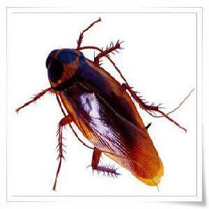 供应蟑螂防治 专业服务 东莞市科达白蚁虫害防治有限公司
