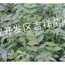 供应香椿苗,香椿苗批发价格,山东香椿苗,大棚专供香椿苗
