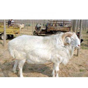 供应小尾寒羊杜泊绵羊养殖场 肉羊养殖利润