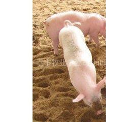 常年供应25-110斤长白 杜洛克 双脊背大约克优质仔猪