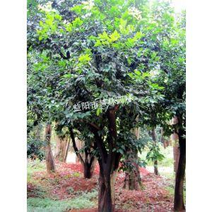 供应供应18公分香泡树益阳市慧林园林