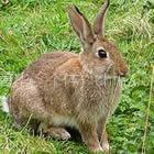 供应新西兰肉兔养殖场,肉兔养殖加盟