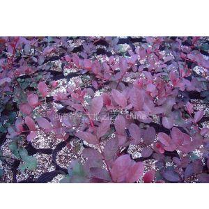 供应红叶乔木紫薇扦插苗 速生乔木紫薇红叶紫花