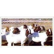 小尾寒羊养殖场 杜泊羊养殖场 肉羊养殖场 山羊养殖场