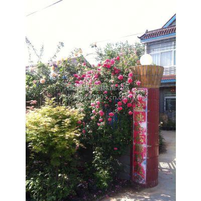 蔷薇月季江苏供应 50-100公分长 大花蔷薇月季爬墙梅 藤本月季