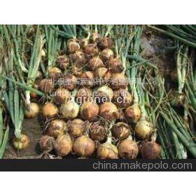 供应特供北京金辉颗源高产洋葱种子洋葱种子公司