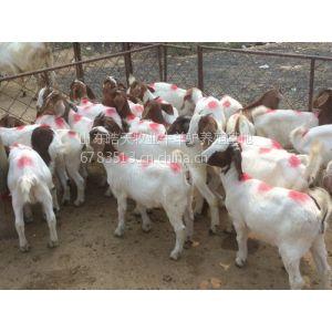 供应供应圈养肉羊养殖技术,皓天养殖场小尾羊价格