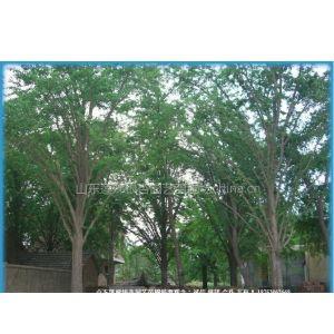 供应中国银杏之乡专业供应银杏树
