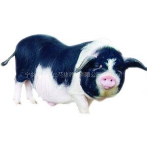 供应宁乡花猪种猪