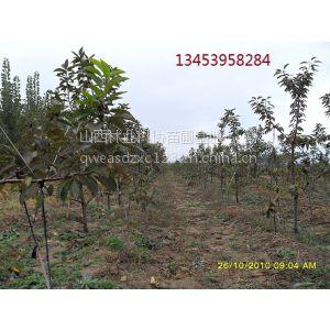 供应山西樱桃树苗价格 山西5-8公分樱桃树价格