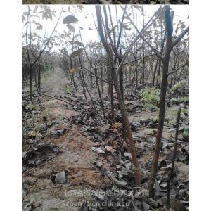 供应薄壳核桃苗,占地用核桃树,占地核桃苗,2个的核桃苗,大核桃树
