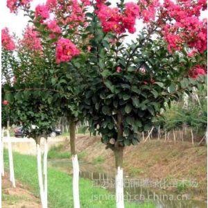 供应哪里有卖紫薇树 紫薇树价格哪里便宜