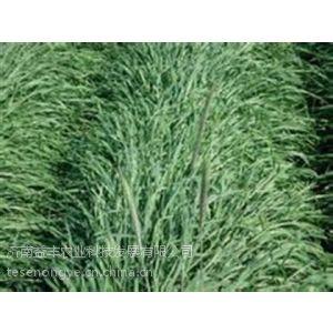 供应牧草种子批发牛羊牧草种子的牧草种子墨西哥玉米草种子
