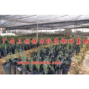 红豆杉树怎么种,红豆杉苗木价格,红豆杉树的功效