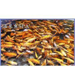 批发土耳其温泉鱼、土耳其亲亲鱼、三亚温泉鱼