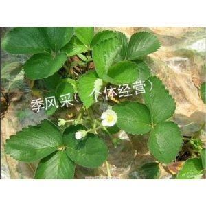 供应脱毒草莓苗 下沙草莓苗 草莓苗园艺场 草莓苗丰香红颜品种