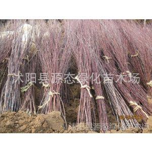 供应出售日本红枫小苗,美国红枫小苗,红枫苗,红枫嫁接苗 量大优惠