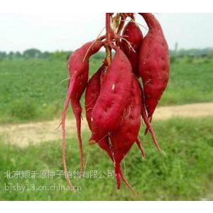 供应红薯种子种苗2014价格顺禾源厂家直销