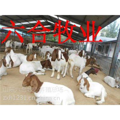 供应波尔山羊 波尔山羊多少钱一只 波尔山羊母羊价格 小公羊 羊羔