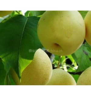 供应供应黄金梨树苗,富士苹果苗,香玲核桃苗,山东果树苗