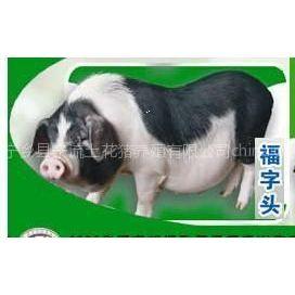 供应湖南宁乡花猪全国代理