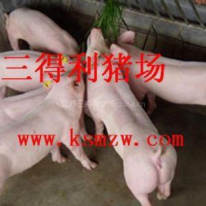 供应三得利猪场供应优质长白仔猪 苗猪